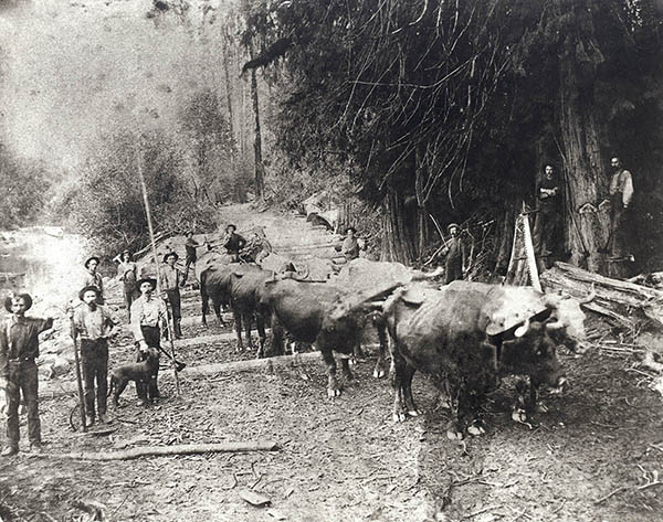 PO 40 264 Oxen logging at Snoqualmie Mill Company Slough 1891 Mills Snoqualmie Mill Co